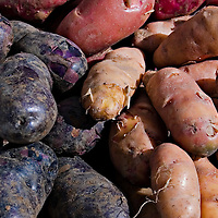 A basket of red, blue and yellow skinned heritage  potatoes.