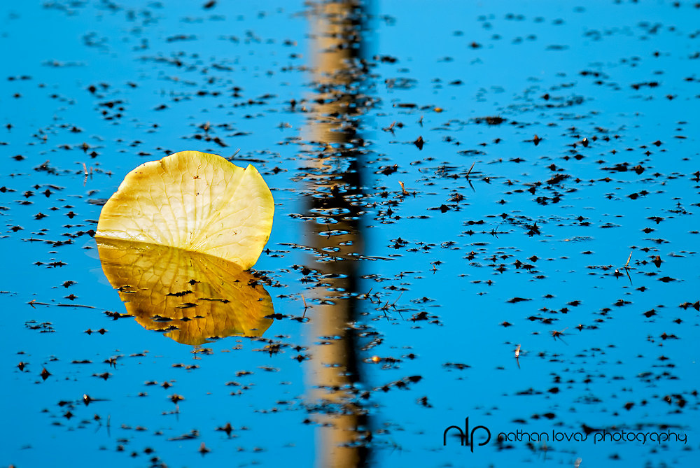 Lily pad reflection on blue water;  Minnesota.