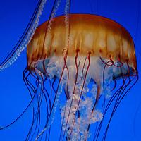 Sea Nettle -Jelly Fish