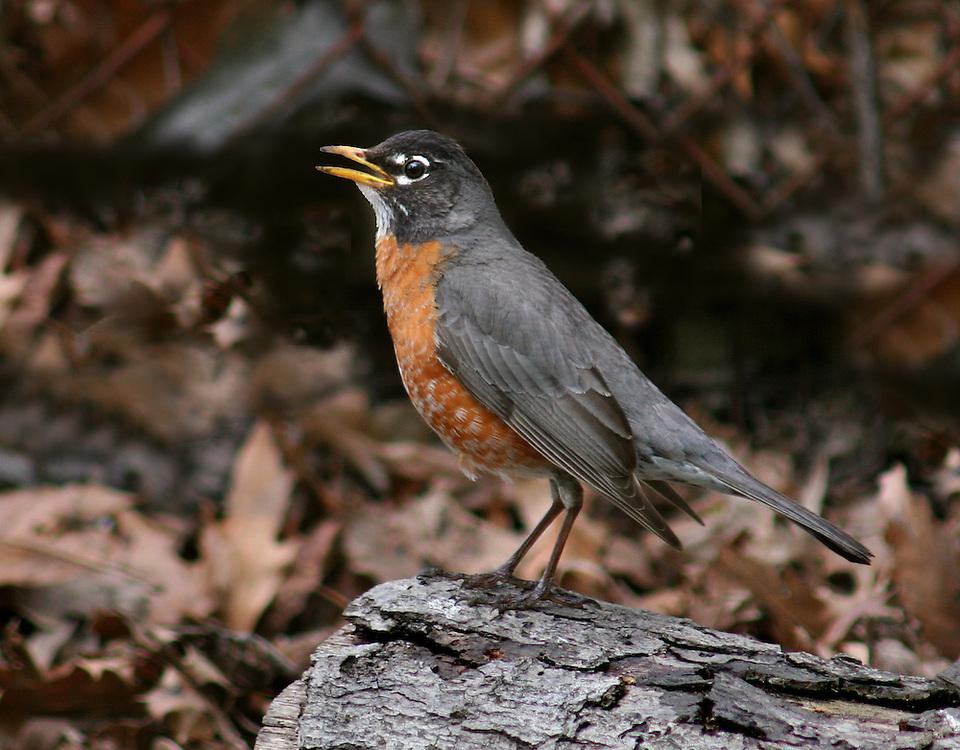 A robin in the Native Fauna Garden.