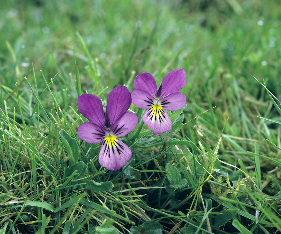 MOUNTAIN PANSY Viola lutea (Violaceae)  Height to 30cm<br /> Attractive, creeping and almost hairless perennial of upland calcareous grassland. FLOWERS are 15-30mm across and may be yellow, bluish violet or both (May-Aug). FRUITS are egg-shaped. LEAVES are lanceolate with palmate stipules at the bases.