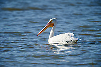 American White Pelican (Pelecanus erythrorhynchos)  swmming in Lake Chapala, Ajijic, Jalisco, Mexico