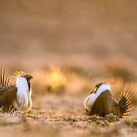 Male greater sage-grouse gather on the lek to perform their elaborate courtship dance. The first males to arrive on the lek are the older, experienced ones; they often arrive before sunrise to guard coveted territories.  <br /> <br /> Overgrazing and development of oil, gas and wind energy in the west are a serious threat to the birds, eliminating much of their habitat.