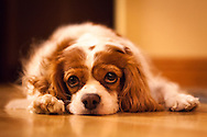 Meet Gidget, a Cavalier King Charles Spaniel.  She loves to fetch the ball, and will do it for hours if you let her.  Afterward, she is quick to take long naps and generally look very cute.