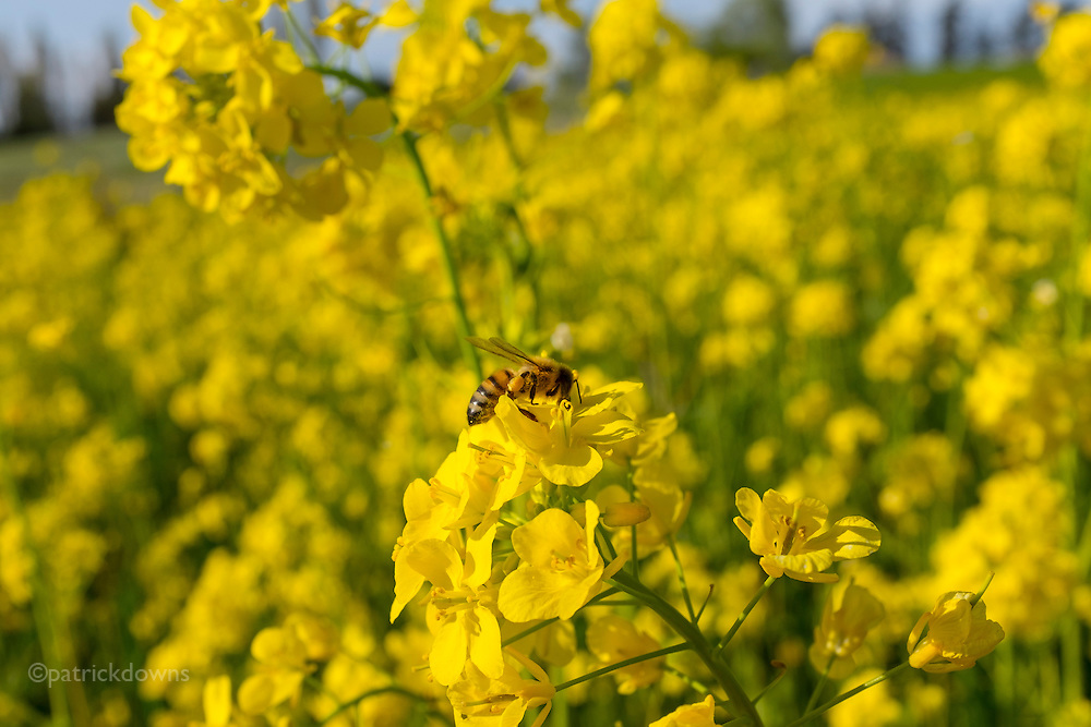 A honeybee works pollinating in a mustard patch nestled amid a wheat field.