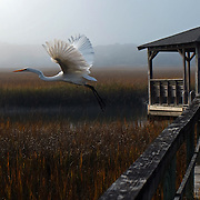 Pawley Island, South Carolina  Photo by David Peterson - An egret flies over a marsh in Pawley Island, South Carolina.