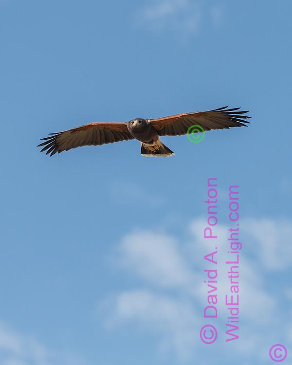 Harris's hawk in level flight, approaching, blue sky background, © 2012 David A. Ponton