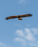 Harris's hawk in level flight, approaching, blue sky background, © 2012 David A. Ponton