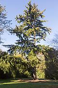 Nootka cypress tree, Xanthocyparis nootkatensis 'Pendula', Westonbirt arboretum, Gloucestershire, England, UK