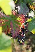 Weintrauben, Weinberge Groß-Umstadt, Odenwald, Naturpark Bergstraße-Odenwald, Hessen, Deutschland   grape vine, vine yards Groß-Umstadt, Gross-Umstadt, Odenwald, Hesse, Germany