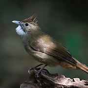 The ochraceous bulbul (Alophoixus ochraceus) is a species of songbird in the bulbul family, Pycnonotidae. It is found from Southeast Asia to Sumatra and Borneo. It is usually found in the mid-storey of broad-leaved evergreen and rainforests up to 1500 metres elevation.