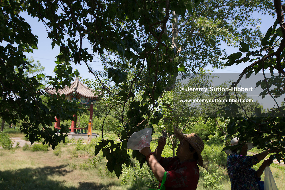 Mulberry fruit picking farm in Daxing, outside Beijing, China, Wednesday 30th May 2012.
