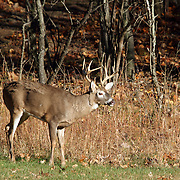 A White-tail Deer 10-point Buck, Odocoileus virginianus, at the edge of a wood in Autumn. Rifle Camp Park, Woodland Park, New Jersey, USA, North America.