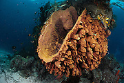 Barrel sponge (Xestospongia testudinaria) Raja Ampat, West Papua, Indonesia, Pacific Ocean