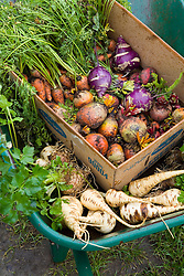 Mixed harvested root vegetables in a wheelbarrow including parsnips, beetroot, carrots, celeriac and kohlrabi