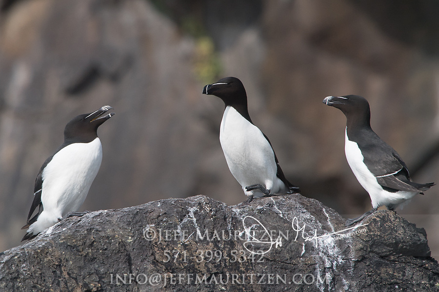 Razorbills rest on the cliffs of Skomer Island, a National Nature Reserve of Wales, U.K..