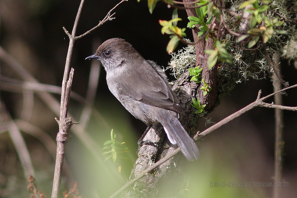 Brown Parisoma, (Brown Warbler), Sylvia lugens, Ethiopia, by Markus Lilje