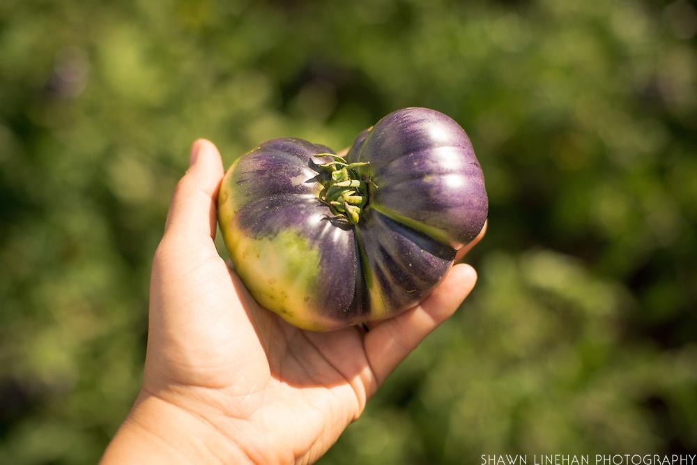 The indigo tomato that Jim Myers has bred produceds a purplish color as it ripens.