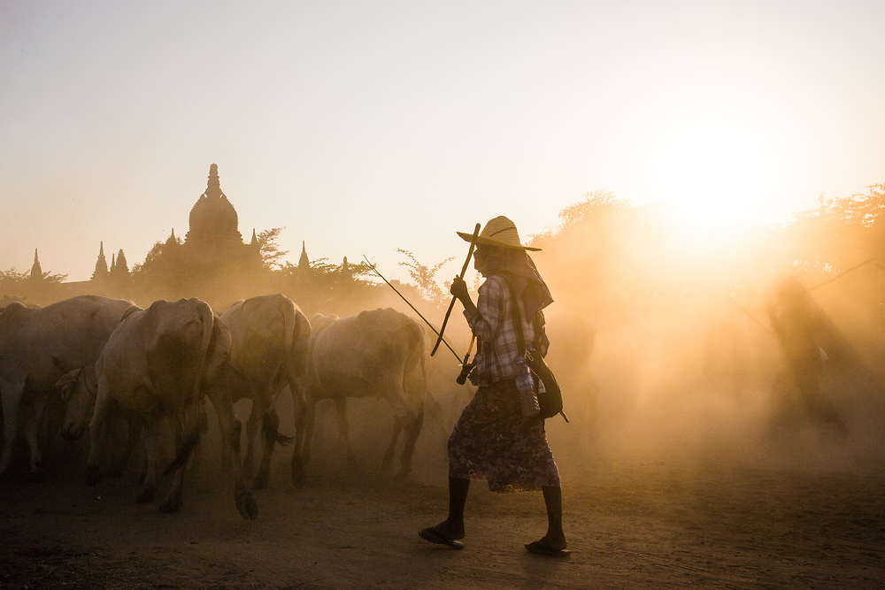 Bagan, Myanmar. A farmer is bringing back the cows to the village after the day grazing in the fields.<br />