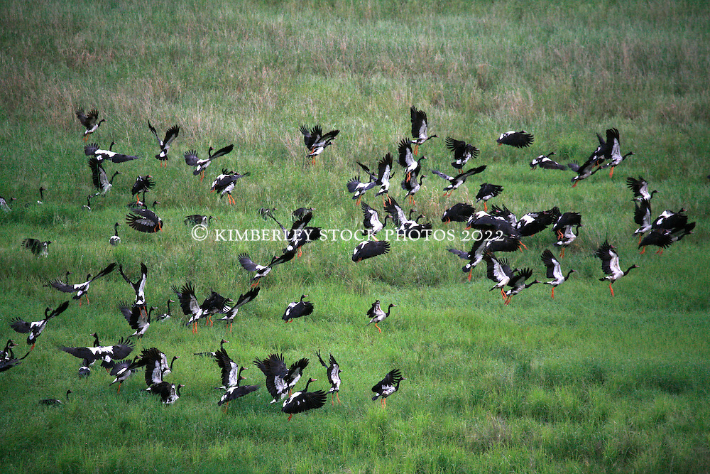 A flock of Magpie Geese rise in flight over Parry's Lagoon in the east Kimberley.  The wet season brings the birds to the Kimberley.
