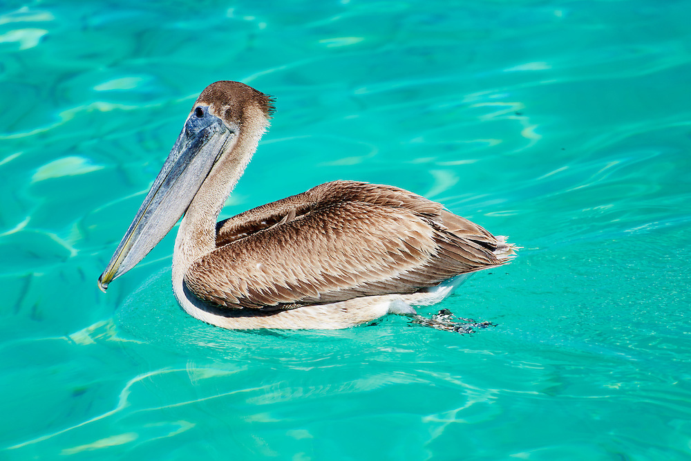 Pelican floating in the turquoise waters of Puerto Morelos, México.