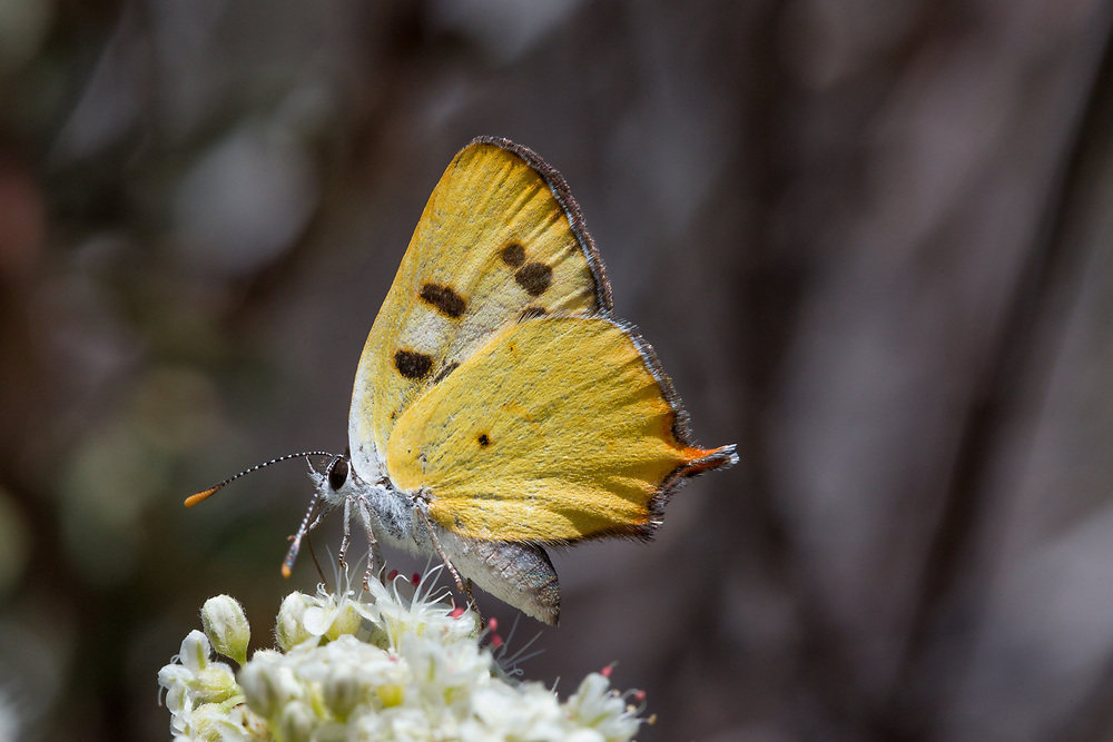 Lycaena hermes (Hermes Copper) at Cuyamaca Mountains, San Diego Co, CA, USA, on California buckwheat 08-Jun-14