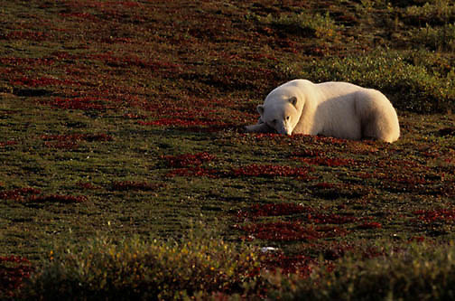 Polar Bear, (Ursus maritimus) Sleeping on tundra in fall. Churchill, Manitoba. Canada.