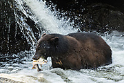 An adult American black bear grabs a spawning salmon from the falls at Anan Creek in the Tongass National Forest, Alaska. Anan Creek is one of the most prolific salmon runs in Alaska and dozens of black and brown bears gather yearly to feast on the spawning salmon.