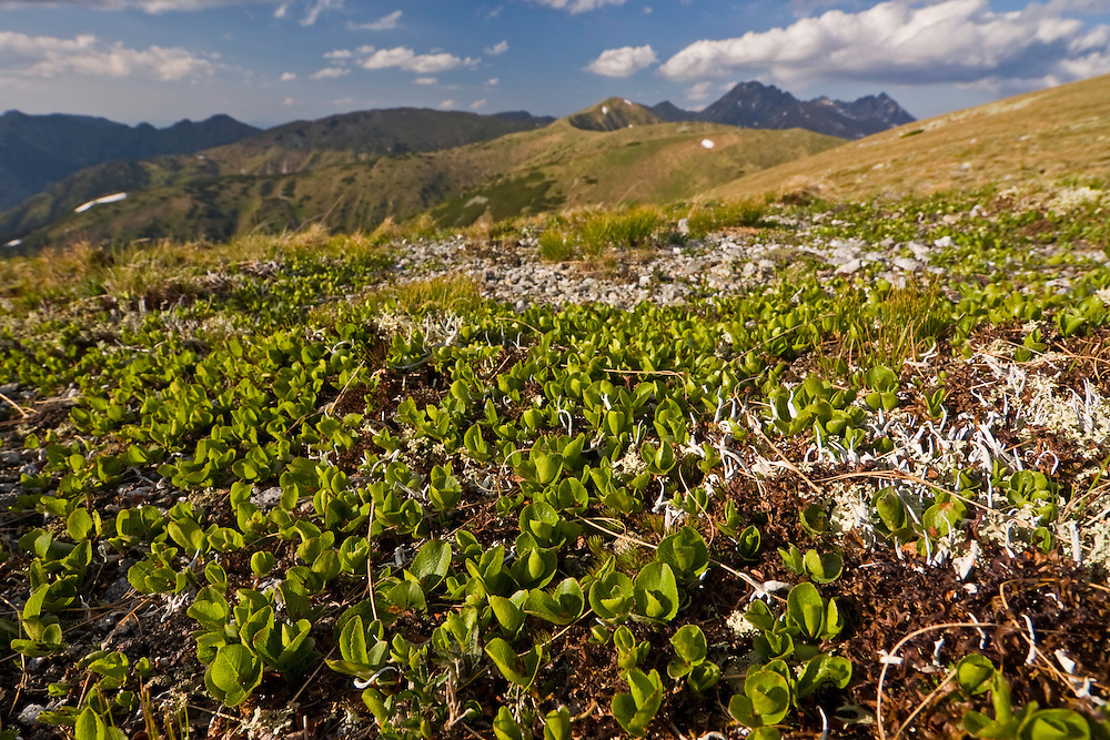Mat of Dwarf willow (Salix herbacea), the smallest willow on Earth, on saddle in the Liptovske kopi. Western Tatras, Slovakia. June 2009. Mission: Ticha