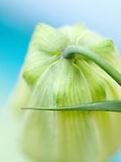 Fritillaria pallidiflora - Siberian fritillary