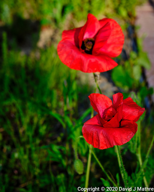 Red Oriental Poppy. Image taken with a Fuji X-T3 camera and 80 mm f/2.8 OIS macro lens (ISO 160, 80 mm, f/5.6, 1/160 sec).