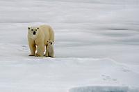 Polar Bear sow with cub on the sea ice at 80˚ 50' above Svalbard archipeligo, Norway.