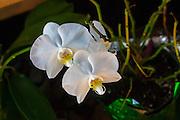 Orchid, Hawaii