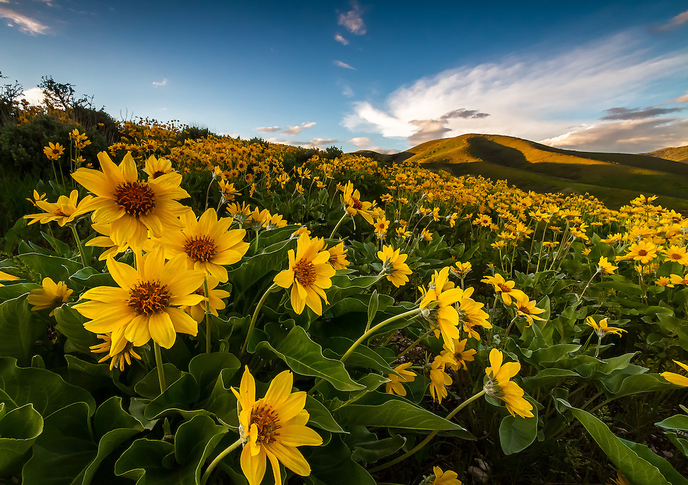 A blanket of yellow balsomroot wildflowers cover the hillside in East Canyon of the Wasatch Mountains near Salt Lake City, Utah.
