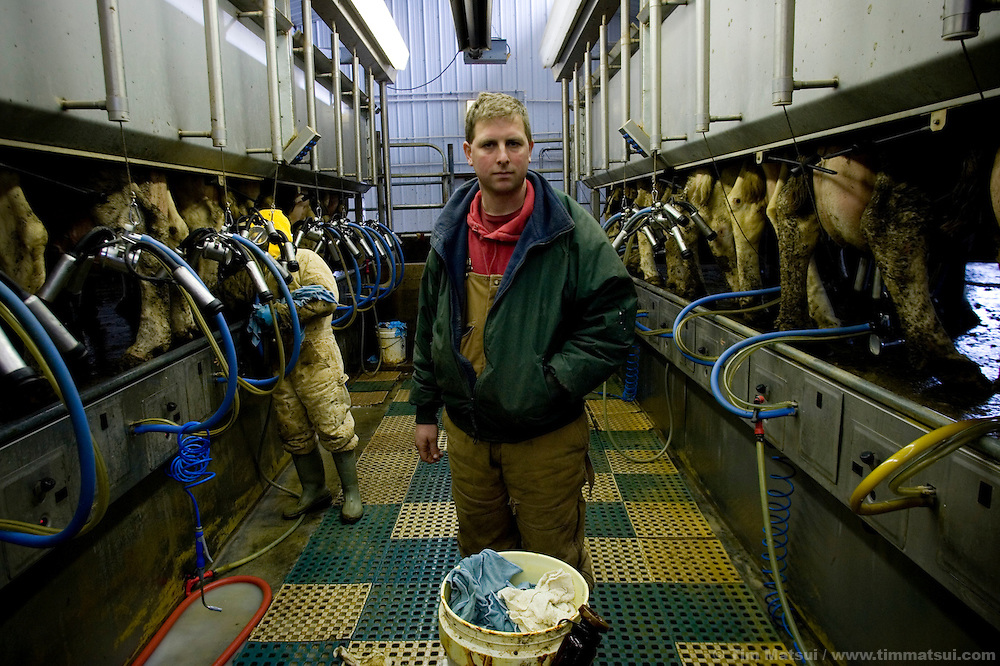 Steve Haak with worker Jose Flavio in the milking room at the Vander Haak dairy farm, the first in the nation to us an anaerobic digester to turn manure into methane in Lynden, Washington, on Wednesday, March 1, 2006...The Vander Haak dairy is the first in the state of Washington to use an anaerobic digester to turn dairy cow manure into sterile compost, liquid fertilizer, and methane gas which is burned to generate electricity. The 4,500 gallon per-day digester can processes the waste of 1500 cows from three farms in a 22 day cycle. 58 percent of gas produced is methane which powers a modified Caterpillar engine to produce 300 Kilowatts with a 'parasitic load' of 15 Kilowatts, meaning the process consumes 15 Kilowatts, for a net of 285 Kilowatts which are sold onto the power grid as 'green' renewable energy. This is enough to power 180 average homes...According to a report by Washington State University, a co-funder of the digester, there are approximately 600 dairy farms in Washington state with 250,000 dairy cows. If half of those cows' waste were processed in a digester, 25 megawatts of 'green' electricity could be produced annually...The compost is used on the farm as bedding and is sold commercially. The sterile fertilizer is used on the farm's corn and hay fields which feed the cows. Both help to mitigate the volume of waste produced by dairy farms which is often stored in open air lagoons, creating odor problems and water quality concerns...The anaerobic digester is a product of a partnership between Vander Haak Dairy, Andgar Corporation, Whatcom County, Puget Sound Energy, USDA Rural Development, Washington State University, and the Paul G. Allen Family Foundation.
