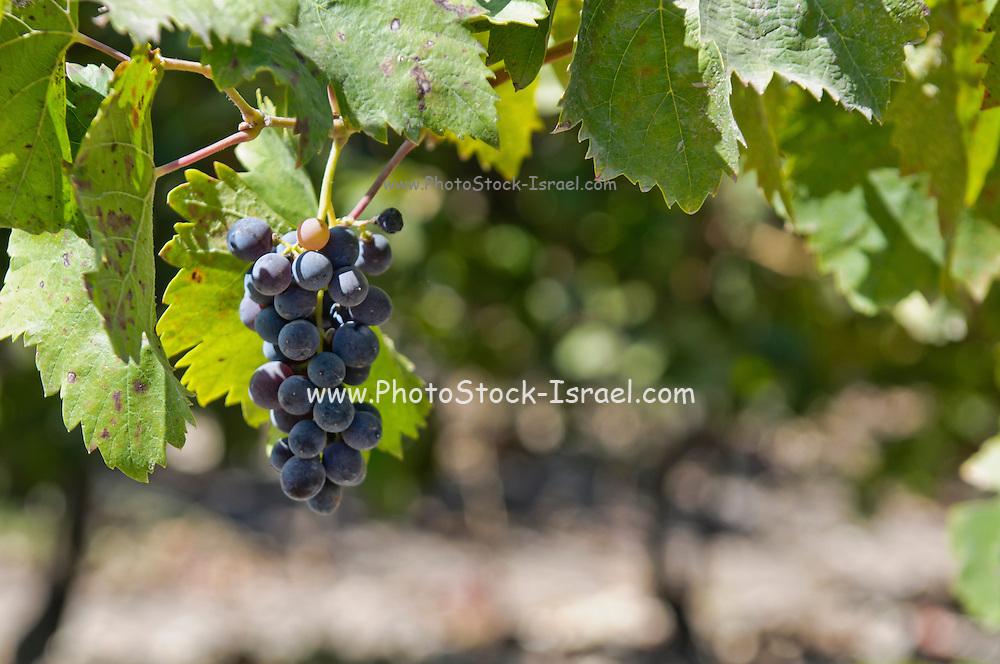 Vineyard. Carignan grapes on a vine
