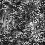 St. Dunstans Overgrown - London - Black & White