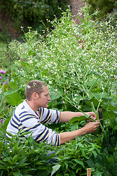 Staking a tall plant in a border (Crambe cordifolia) using a strong wooden post stake.