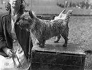 """19/07/1952<br /> 07/19/1952<br /> 19 July 1952<br /> Dog show: All Breed Championship, 10th Annual Show of the Combined Canine Clubs at Terenure College,<br /> Templeogue Road Terenure Dublin. Mrs B.J. Cantwell and her terrier """"Krybreen Othello""""."""