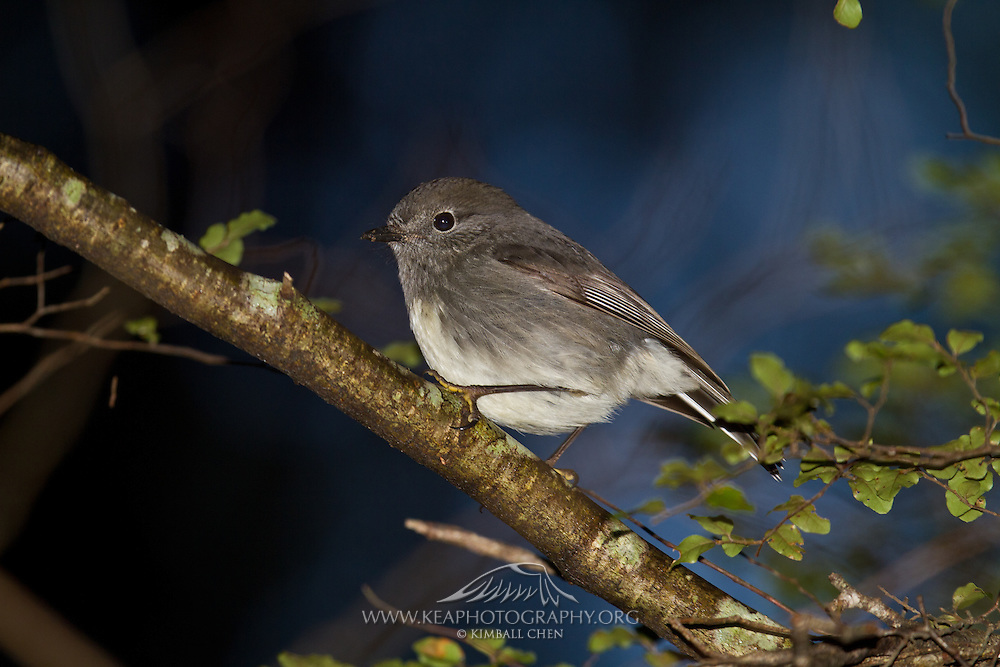 South Island Robin, Mount Aspiring National Park, New Zealand