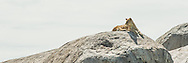 A lion rests on a kopje in the Serengeti.  The kopjes were formed in ancient lava flows as granite bubbles.  Subsequent erosion has exposed them as outcroppings in the Serengeti's seas of grass.<br />