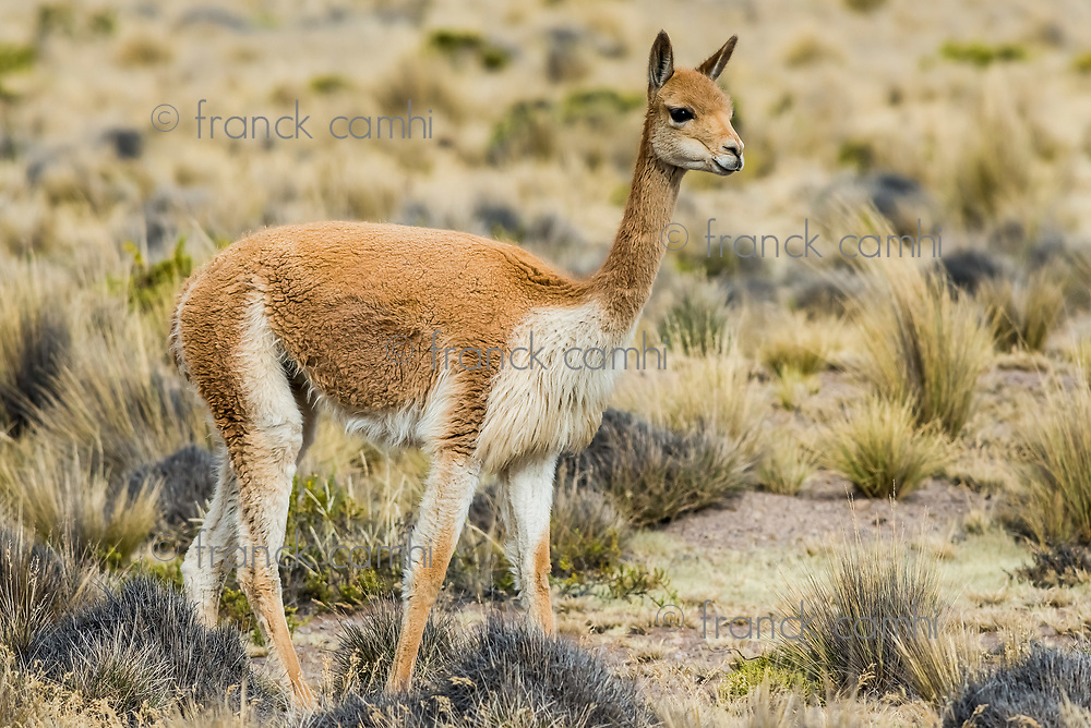 Vicuna in the peruvian Andes at Arequipa Peru
