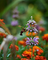 Hummingbird Clearwing moth feedind on Lemon Mint flowers. Image taken with a Nikon D5 camera and 80-400 mm VRII lens.
