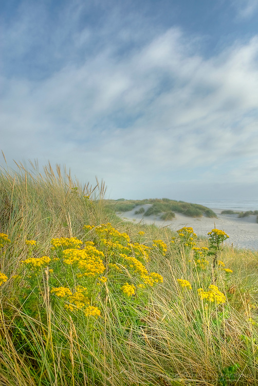 Dunes and dune grass at Nehalem State Park Oregon USA