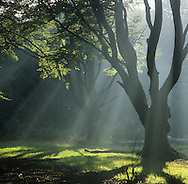 Beech trees in autumn, Ashridge, Hertfordshire