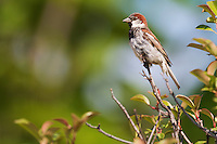 Male House Sparrow (Passer  domesticus). Pont-du-Chateau, Auvergne, France.