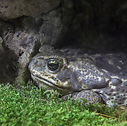 Rococo toad (Rhinella schneideri), in the Menagerie or Zoo of the Jardin des Plantes, part of the Musee National d'Histoire Naturelle (National Museum of Natural History), in the 5th arrondissement of Paris, France. Picture by Manuel Cohen