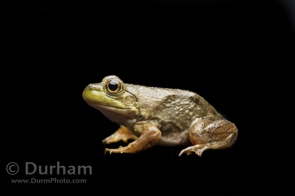 A newly morphed juvenile American bullfrog (Lithobates catesbeianus) - an invasive species in the western North America.