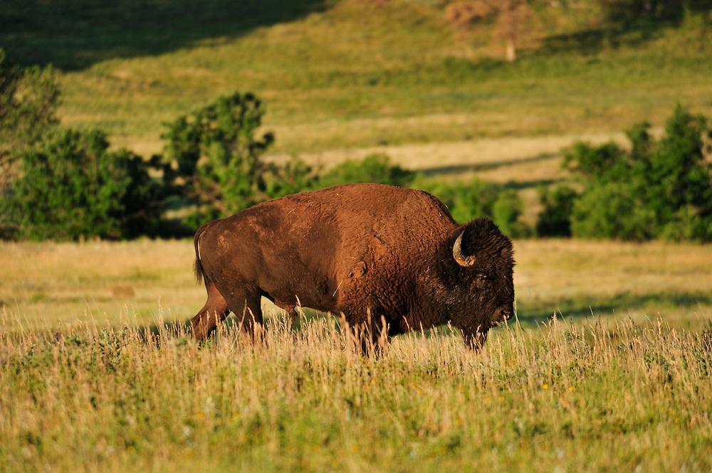 Bison, Bos bison, Custer State Park, Custer County, Black Hills, Western South Dakota, USA