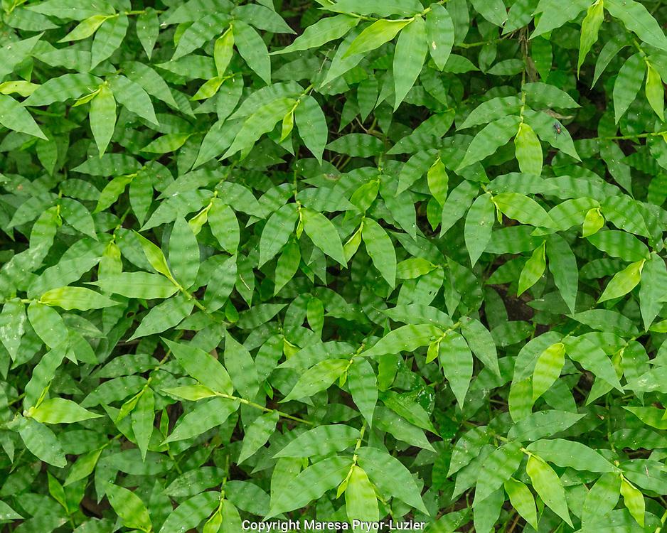 Woods grass, Oplismenus hirtellus, native to Florida, groundcover